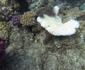 COT sucking the life out of a small plate coral, with a live coral nearby