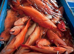 Coral trout is the most favored fish for live reef fish trade (Photo courtesy of WWF)