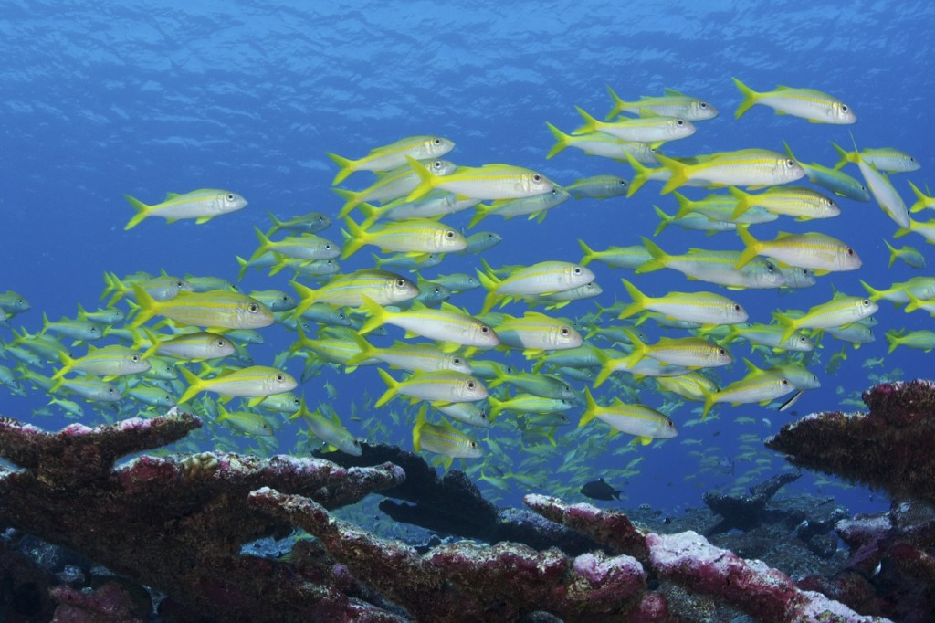 The rich marine life in the Phoenix Islands Protected Area in Kiribati. (Photo by © Ketih A. Ellenbogen/Conservation International)