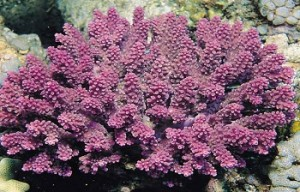 Acropora globiceps coral listed for protection under the Endangered Species Act. This species occurs in the Indo-Pacific; within US waters it occurs in Guam, Commonwealth of Northern Mariana Islands, Pacific Remoste Island Areas and American Samoa. (Photo Credit: NOAA)