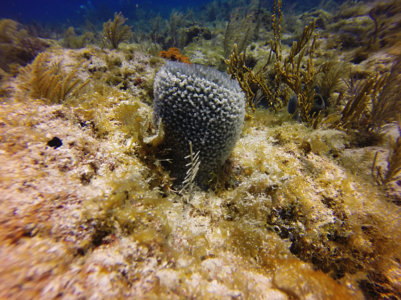 Most Caribbean coral reefs are now covered with more algae and sponges then coral. (Photo by: Heather Goldstone / WCAI)