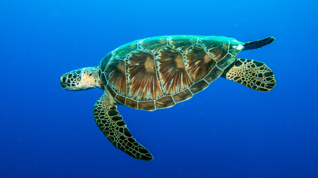 Green turtle. (Photo by: P Mumby)