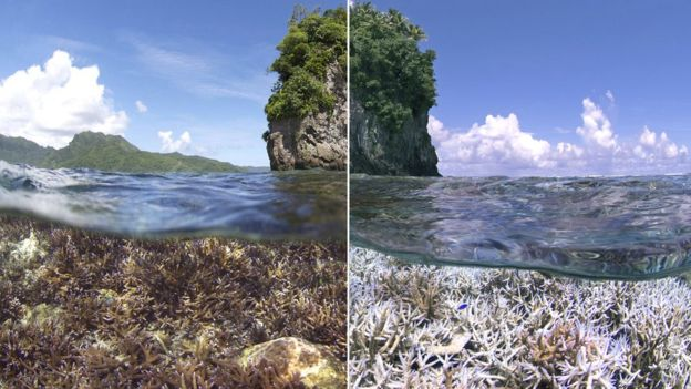These images, taken in American Samoa, show the devastation caused by coral bleaching between December 2014 and February 2015.