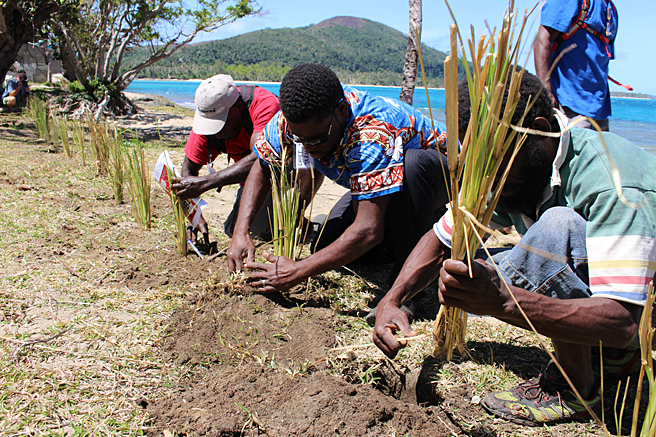 Planting vetiver grass to protect coastal foreshores. (Photo by: Geoff Dews)