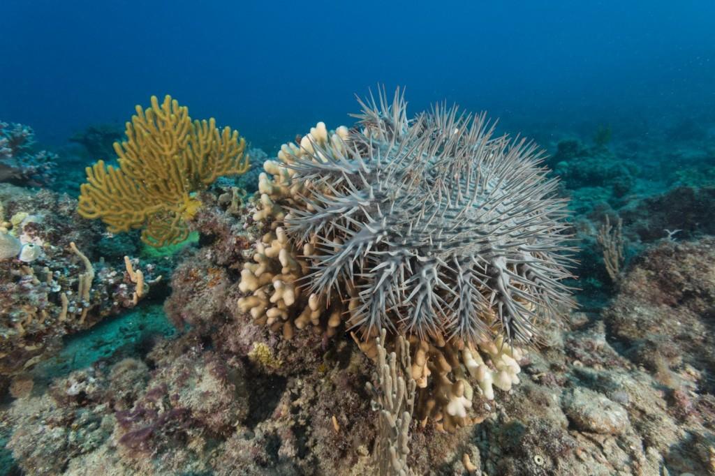 The crown-of-thorns starfish, Acanthaster planci, is a large, multiple-armed starfish that usually preys upon hard, or stony, coral polyps. (Photo by: Jürgen Freund/iLCP)