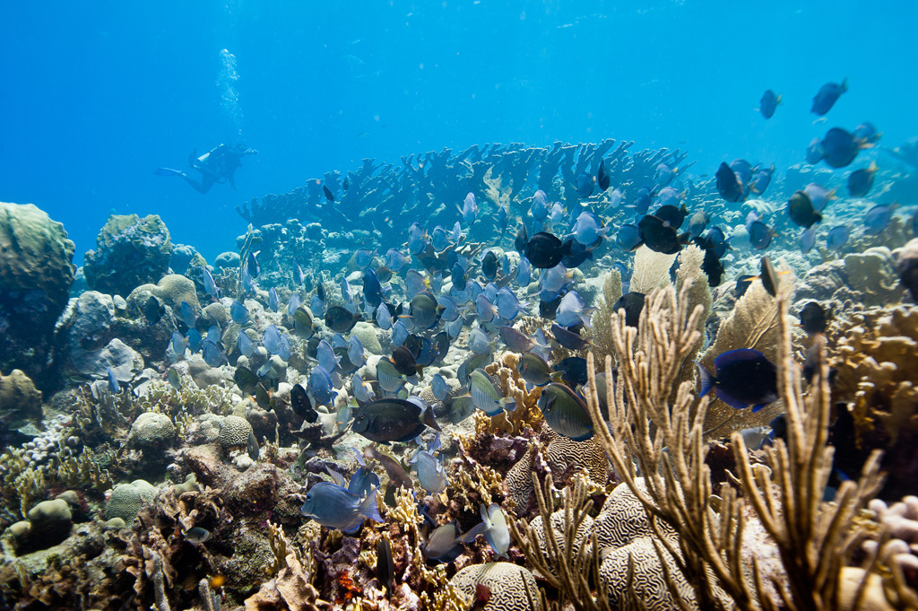 Reef site with school of surgeon fish and elkhorn coral (Acropora palamata) stand in the background at Curaçao.